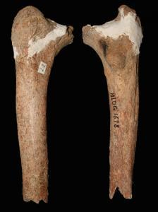 14,000-year-old thigh bone found in southwestern China. Credit: Darren Curnoe & Ji Xueping